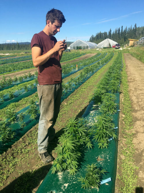 farmer checking marijuana which is growing in rows in the sun
