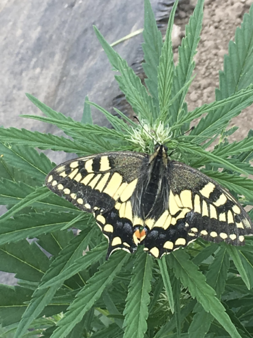 beautiful butterfly on a marijuana plant