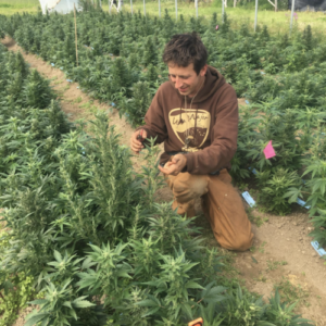 farmer checking marijuana crop kneeling next to it